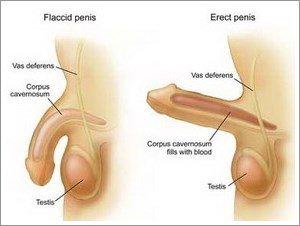 erezione del pene